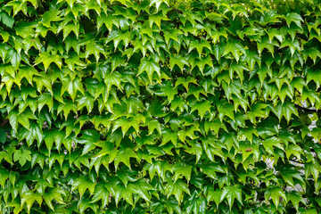 Wild grape green leaves wall as background