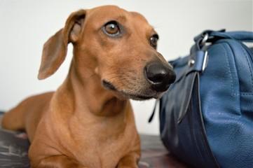 Basset Dachshund - Cachorro Salsicha