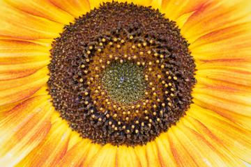 Close up of orange and yellow sunflower