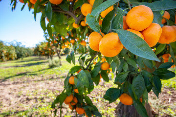 Fresh tangerine tree in garden. Agriculture concept photo.