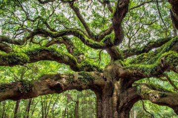 angel oak tree in John's Island South Carolina Fotoväggar
