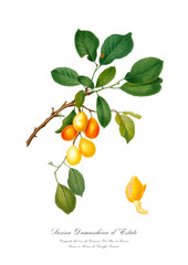 Vintage illustration of plum on branch.