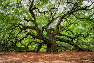 Obraz angel oak tree in John's Island South Carolina - fototapety do salonu