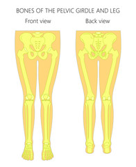 Vector illustration anatomy of a human pelvic girdle and legs. Front and back view. For advertising and medical publications