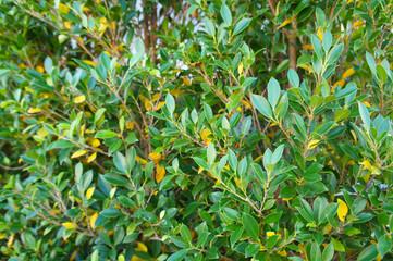 Buxus sempervirens green shrub Wall mural