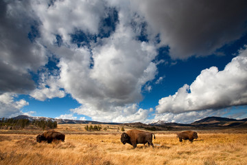 American Bison in Yellowstone National Park, Wyoming