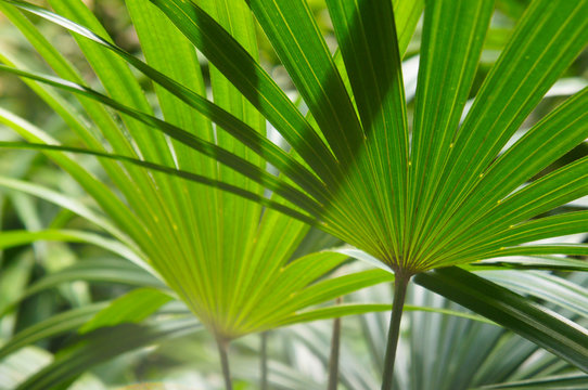 Chamaerops humilis dwarf fan palm green leaves