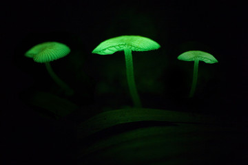 Small mushroom that emits bioluminescent light at night