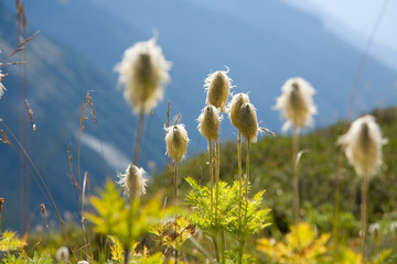 Scenic image of Pasqueflower in Mt. Rainier National park, WA.