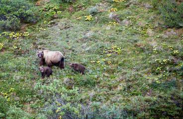 Denali National Park, Alaska: Grizzly Bear with cubs (ursus major).