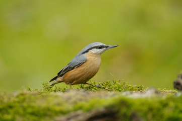 The Eurasian nuthatch (Sitta europaea) is a small passerine bird found throughout temperate Asia and in Europe