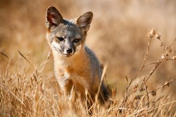 Channel Islands Fox, California.