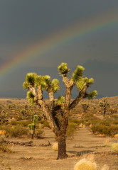A rainbow over a Joshua Tree in the Mojave Desert near El Mirage, CA.