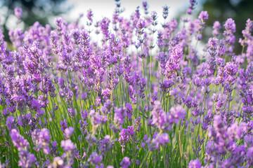 Beautiful summer violet lavender field