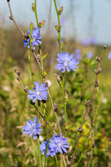 Chicory flowers (Cichorium intybus) in a field at sunny day