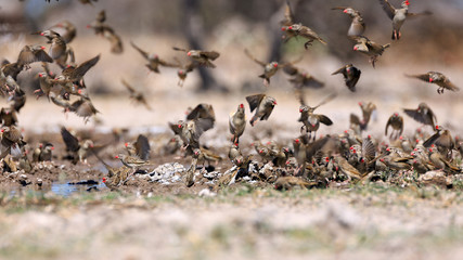 Blutschnabelwebervögel