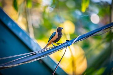 Burnished-buff tanager (Tangara Cayana) AKA Saira Amarela bird standing on a wire in Brazil's countryside.