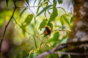 Burnished-buff tanager (Tangara Cayana) AKA Saira Amarela bird standing on a tree in Brazil's countryside.