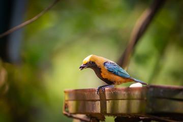 Burnished-buff Tanager (Tangara Cayana) AKA Saira Amarela bird eating banana in Brazil's countryside