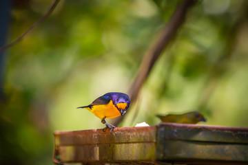 Purple-throated Euphonia (Euphonia chlorotica) AKA Fim Fim bird eating banana in Brazil's countryside