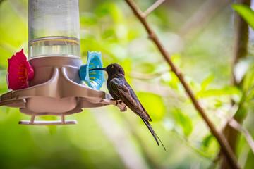 Swallow-tailed Hummingbird (Eupetomena macroura) AKA Beija-Flor Tesoura feeding on a feeder in Brazil coutryside