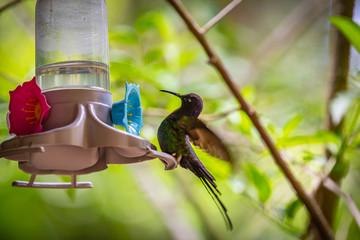 Swallow-tailed Hummingbird (Eupetomena macroura) feeding on a feeder in Brazil coutryside