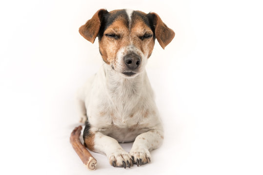 Obedient Jack Russell Terrier 10 years old - Funny little dog is meditieren und ist träumt  von eats and chews with enjoyment. Doggie isolated against white background