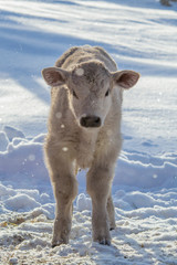 Angus and Charolais Calf Standing in the Snow