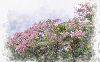 Pink trumpet flowers blooming in Thailand(watercolor concept)