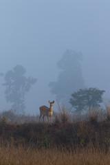 Barainga Deer emerging from foggy background in Kanha National Park India