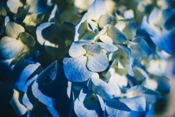 Blue beautiful flowers close up. Hydrangea macro