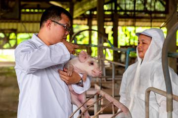 PIG FARM, WORKING IN PIG FARM, Veterinarian Doctor Examining Pigs at a Pig Farm
