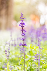 Colorful Blue Salvia flowers meadow Spring nature background for graphic and card design