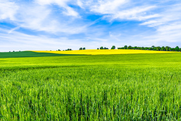 Keuken foto achterwand Pistache Green field, spring landscape with wheat on fields and trees on the sky horizon