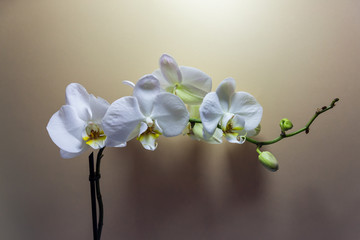 Orchid flower. White Orchid flowers isolated on beige background