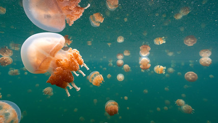 Jellyfish Lake in Palau is an enclosed marine lake containing millions of Golden and Moon Jellyfish. Unlike jellyfish commonly Palau's jellyfish have evolved not to sting in the absence of predators. Wall mural