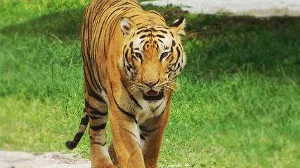 Indian Tiger Background