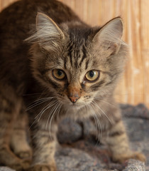 Portrait of a Maine Coon kitten