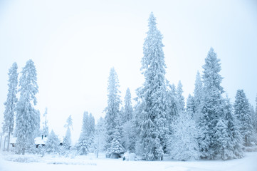 Fabulous winter landscape, Christmas trees in the snow, cold, snowy winter