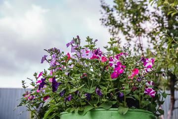 Petunia, Colorful Petunias Flower Nature Image Background