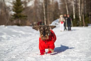 Cane bassotto corre sulla neve