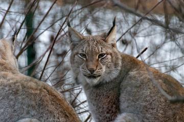 German lynx in winter