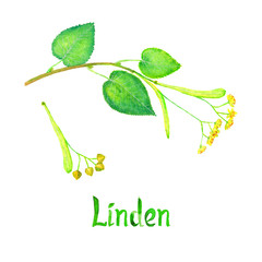 Linden (Tilia Several) branch with green leaves, flowers and seeds, hand painted watercolor illustration with inscription isolated on white