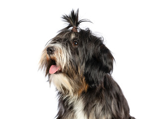 e9fab1f9a6d7 Tibetan Terrier Dog Isolated on White Background in studio