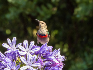 Southern Double-Collared Sunbird (Cynniris chalybeus)