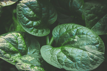 Malabar spinach background