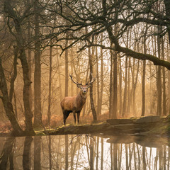 Beautiful landscape image of still stream in Lake District forest with beautiful mature Red Deer Stag Cervus Elaphus among trees