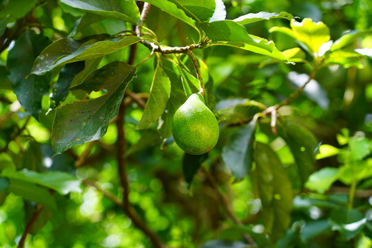 View of a green avocado growing on an avocado tree in French Polynesia