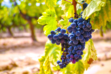 French red and rose wine grapes plant, growing on ochre mineral soil, new harvest of wine grape in France, Vaucluse Luberon AOP domain or chateau vineyard close up Wall mural