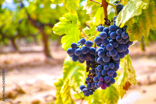 Fototapete French red and rose wine grapes plant, growing on ochre mineral soil, new harvest of wine grape in France, Vaucluse Luberon AOP domain or chateau vineyard close up